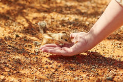 Chipmunk taking nut from a woman's hand. In the Valley of the Fire national park, Nevada, USA stock photography