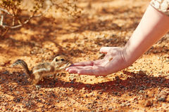 Chipmunk taking nut from a woman's hand. In the Valley of the Fire national park, Nevada, USA royalty free stock photos