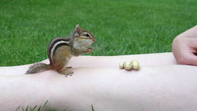 Chipmunk Taking Peanuts From Person. Friendly wild chipmunk sits on top of a person's bare legs while eating peanuts outdoors, wildlife rodent photo image stock images