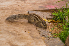 Chipmunk,Tamias Sibiricus. Chipmunk, Tamias Sibiricus on the ground in the city Udaipur, India Stock Photo