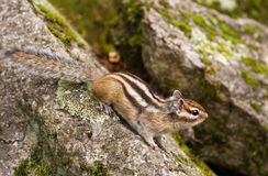 Chipmunk (Tamias Sibiricus) Royalty Free Stock Photo