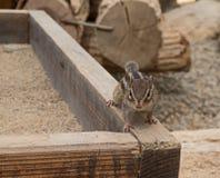 Chipmunk tamias sits atop of wood pile. Stock Image