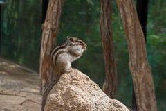 Chipmunk tamias sits atop of wood pile. Royalty Free Stock Image