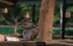 Chipmunk tamias sits atop of wood pile. Royalty Free Stock Photo
