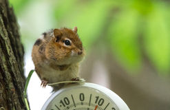 Chipmunk (Tamias), sits up, on top of an outdoor thermometer. Royalty Free Stock Photography