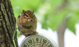 Chipmunk (Tamias), sits up, on top of an outdoor thermometer. Royalty Free Stock Photo