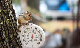 Chipmunk Tamias, sits up, on top of an outdoor thermometer. Royalty Free Stock Photography