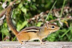 Chipmunk (Tamias striatus). Eastern Chipmunk (Tamias striatus) on a log Stock Images