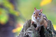 Chipmunk (Tamias (Tamias) striatus) on a log Royalty Free Stock Image