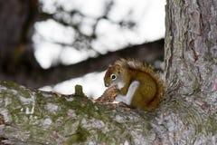 Chipmunk in a tree. A chimpunk preparing for winter Stock Photos