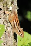 Chipmunk on a tree Stock Photography