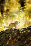 Chipmunk on the tree Royalty Free Stock Photo