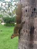Chipmunk on the tree Bali Indonesia royalty free stock photography