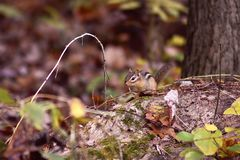 Chipmunk on a tree branch stock images
