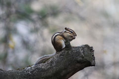 Chipmunk on a tree branch royalty free stock photography