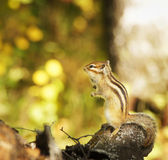 Chipmunk on a tree in the forest Royalty Free Stock Photography