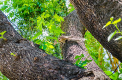 Chipmunk on a tree Stock Photo