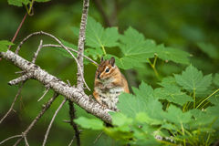 Chipmunk on the tree with green leaves Royalty Free Stock Images
