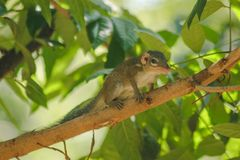 Chipmunk is on a tree with small mammals. Has a general appearance similar to squirrels royalty free stock photo