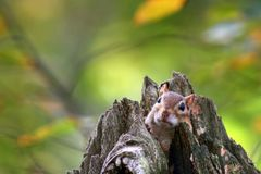 Chipmunk in a tree stump Royalty Free Stock Image