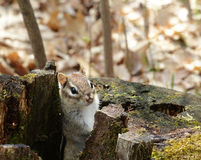 Chipmunk in a tree stump Royalty Free Stock Images