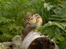 Chipmunk on tree trunk Stock Photography