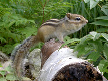 Chipmunk on tree trunk Stock Photos