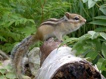 Chipmunk on tree trunk. Sakhalin. Long tail Stock Photos