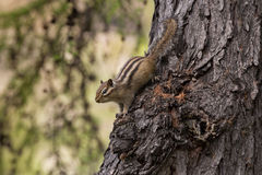 Chipmunk  on a tree trunk Stock Image