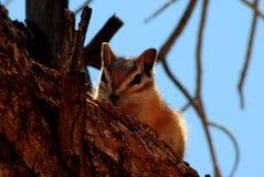 Chipmunk on tree, Utah stock images