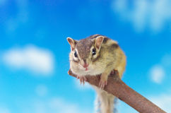Chipmunk on a twig Royalty Free Stock Image