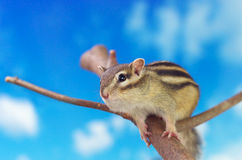 Chipmunk on a twig Stock Photography