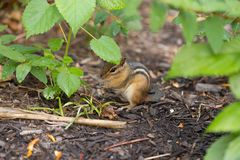 Chipmunk under Leaf. Chipmunk eating while taking cover from the rain under a leaf stock images