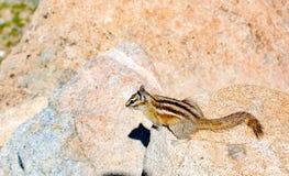 Chipmunk w jaskrawym świetle słonecznym na kamieniu obrazy royalty free