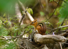 Chipmunk w lesie fotografia stock