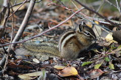 Chipmunk w lesie Obraz Royalty Free