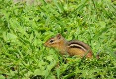 Chipmunk w polu Obraz Royalty Free