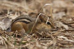 Chipmunk w trawie Obraz Royalty Free