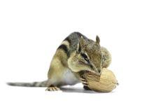 Chipmunk and Walnut Royalty Free Stock Image