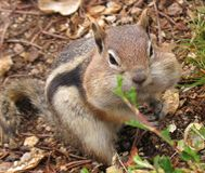 Chipmunk Wandering in Nature Stock Photos