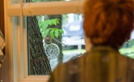 Chipmunk watches woman through kitchen window. Stock Photography