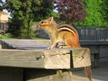 Chipmunk Watching the Sunset Stock Images