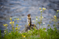 Chipmunk by the Water Stock Image