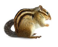 Chipmunk on white Royalty Free Stock Image