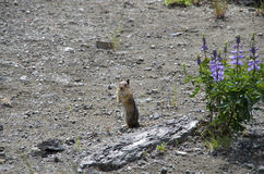 Chipmunk and wild flowers Royalty Free Stock Photo