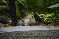 Chipmunk Winking at the Camera Stock Photo