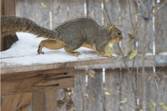 Chipmunk in the winter snow. A chipmunk on a wooden deck in the winter snow Stock Images