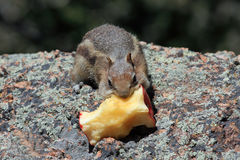 Chipmunk With Apple Stock Image