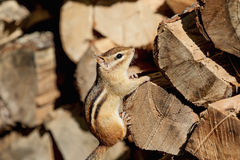 Chipmunk on a wood pile Royalty Free Stock Photo