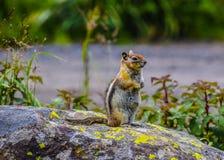 Chipmunk życie Fotografia Royalty Free